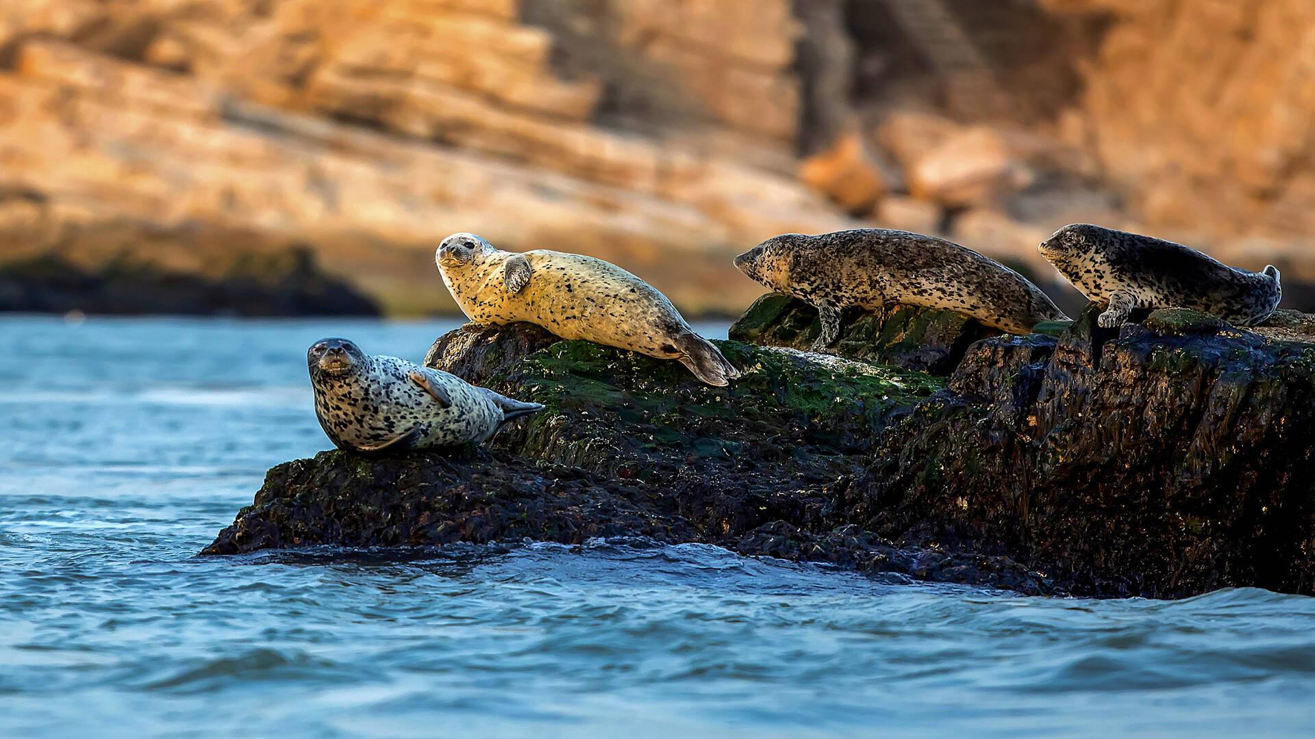 长岛海域斑海豹带娃觅食、晒日光浴……还有4头从洄游变定居