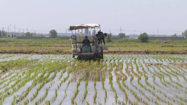 插秧季,田间忙!潍坊2.65万亩稻田种下丰收的希望