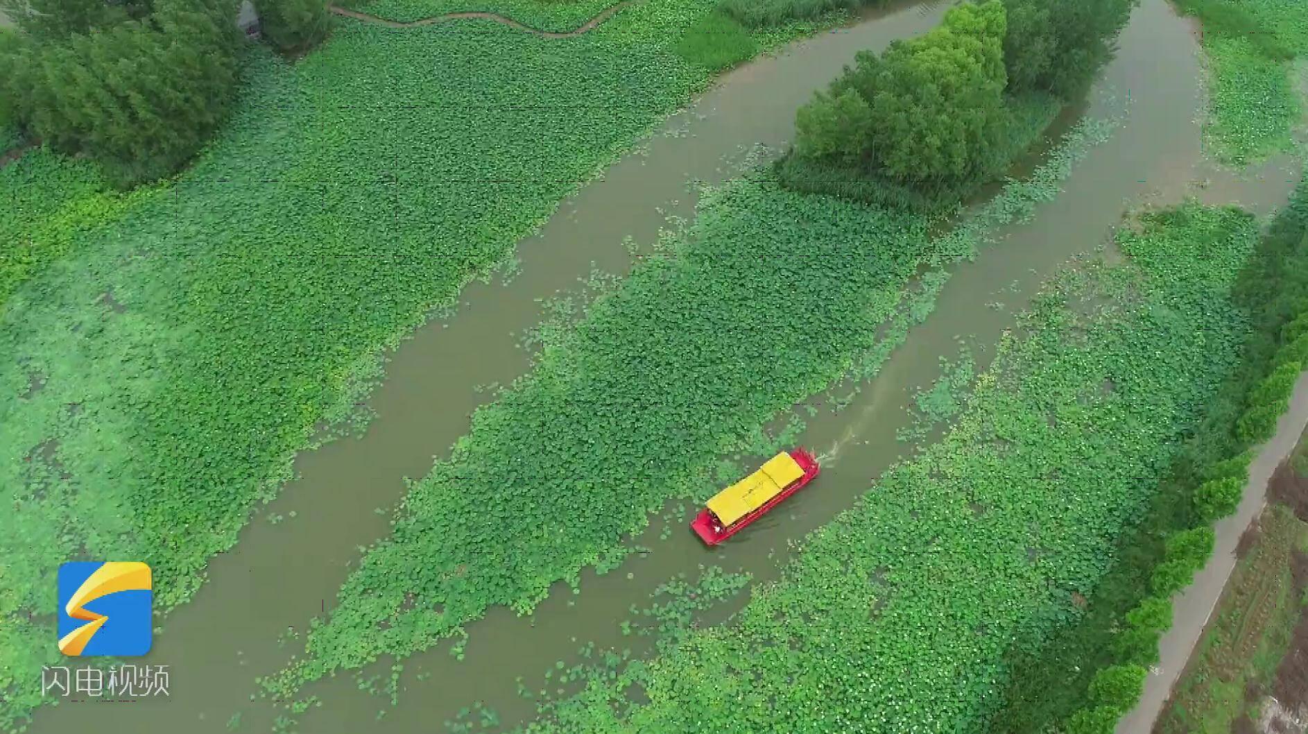 莲叶接天荷花映日 台儿庄运河湿地公园万亩荷花含苞待放