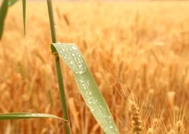 雨后小麦如何抢收?德州农技专家分类施策保麦收
