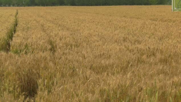 """""""麦收""""遇降雨怎么办?潍坊种植户应做到抢收抢种"""