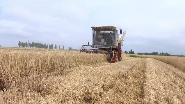 南北风交替、气温回升至30℃以上!潍坊小麦种植户请抓紧抢收