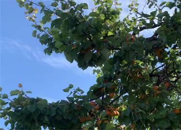 夏至到 杏儿熟!点开视频收获夏日清爽