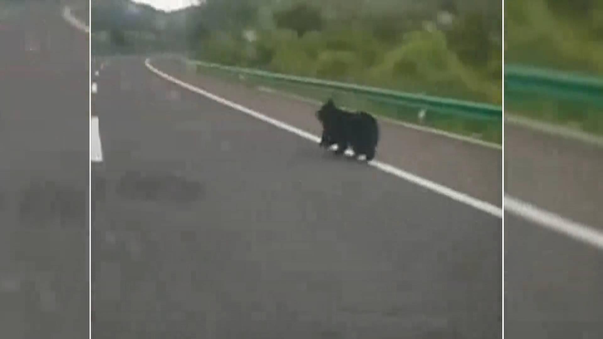 熊出没!吉林延边一高速公路现黑熊 警方全力搜寻中