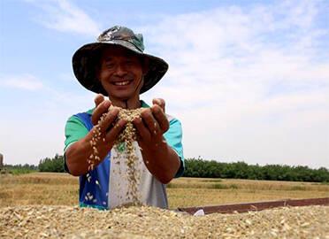 """营养价值高、亩产1200多斤,德州乐陵农民培育""""彩色小麦""""喜获丰收"""