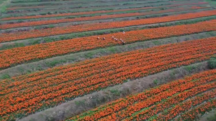 百合花開綻新顏 威海榮成的這一抹橙色點亮了夏天