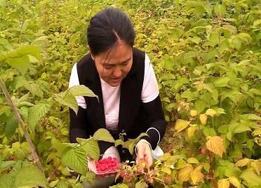 """威海環翠區這個村的樹莓熟了 快來這里遇見最""""莓""""好時光"""