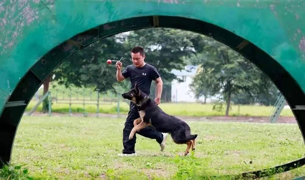 雪狼、小黑、丹妮……泰安28头淘汰、退役警犬等你来领养