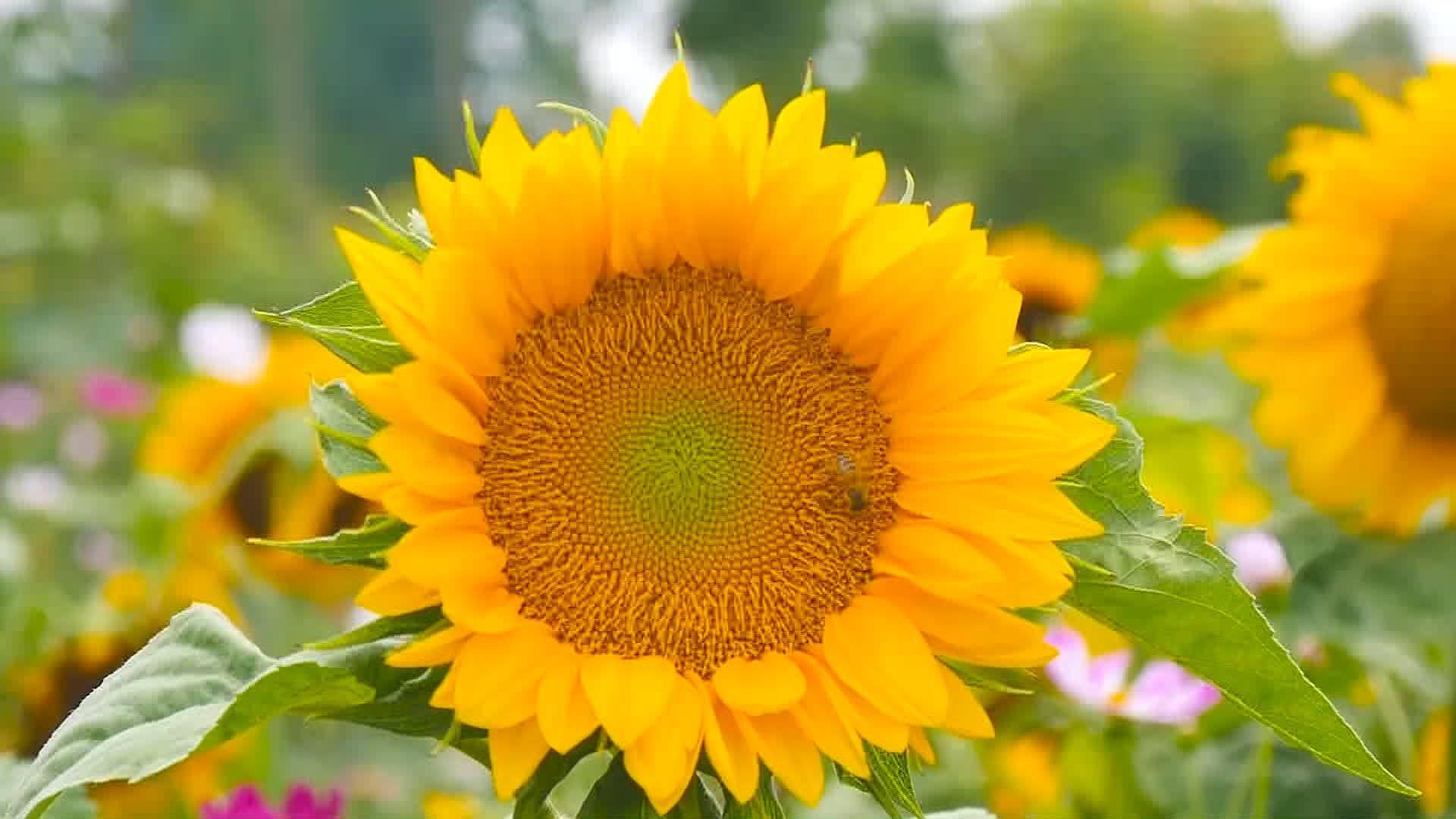 流连蜜蜂时时舞~枣庄百亩葵花向阳绽放 层层花浪犹如金色海洋