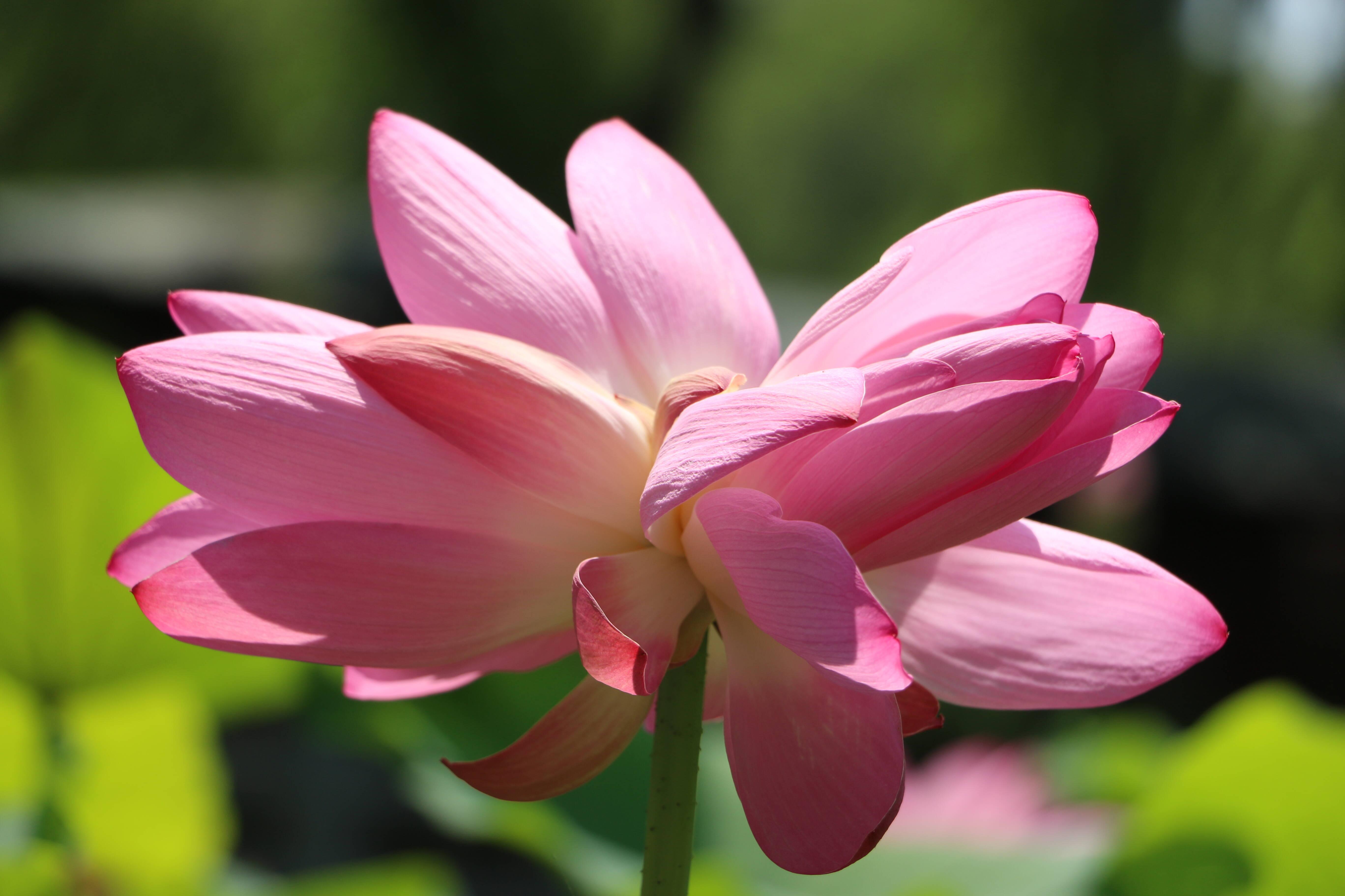 影像力|一夜之间并蒂莲娇美绽放 两抹粉红妆点济南大明湖畔夏日风光