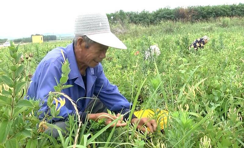 潍坊安丘:小小金银花铺就村民致富路