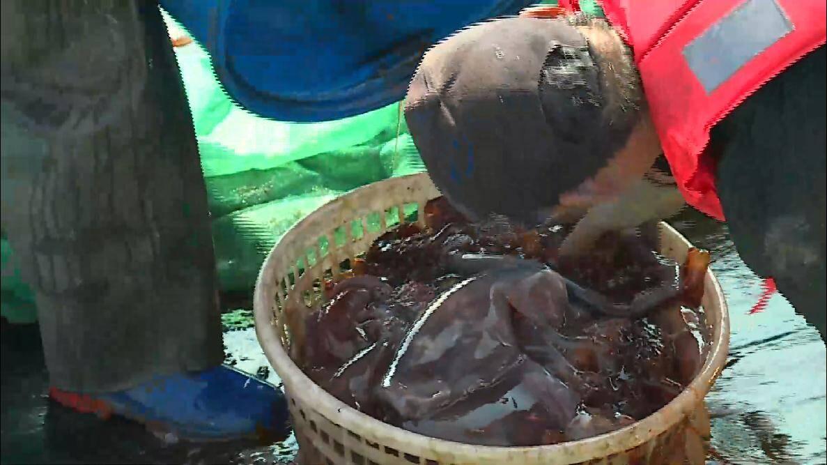 烟台蓬莱区今年第一网海蜇喜获丰收 46条渔船可出海捕捞