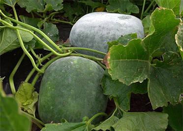 援助河南灾区 德州一农民捐出自己种的10吨冬瓜