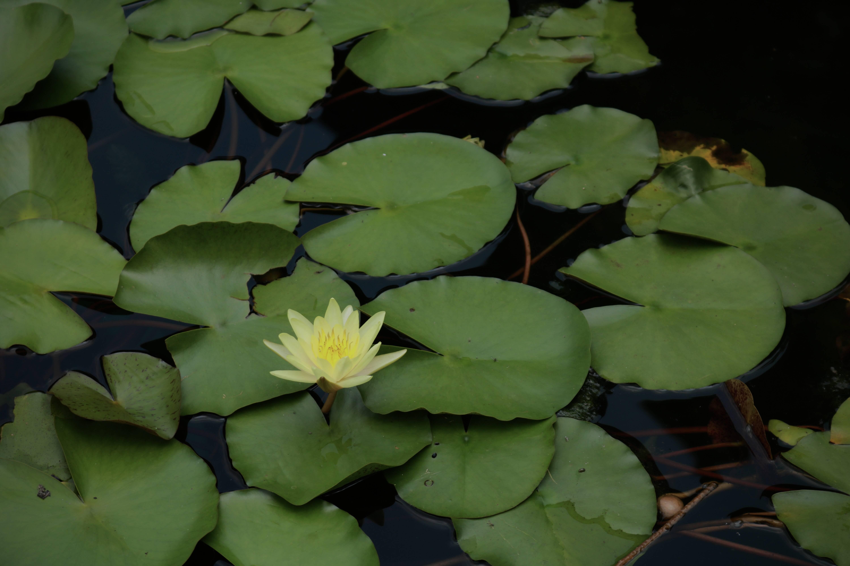 诗画山东 灼灼荷花瑞 亭亭出水中 带你邂逅大明湖畔的王莲