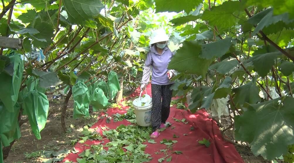 棗莊一90后女大學生返鄉創業 用葡萄成就致富夢想