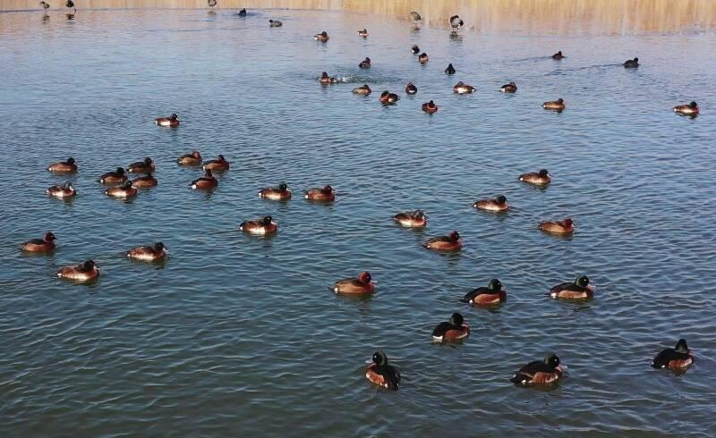 全球极危物种青头潜鸭群现身东平湖