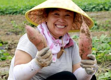 德州宁津:2000亩早熟蜜薯喜获丰收 龙头企业引领俏销京津市场