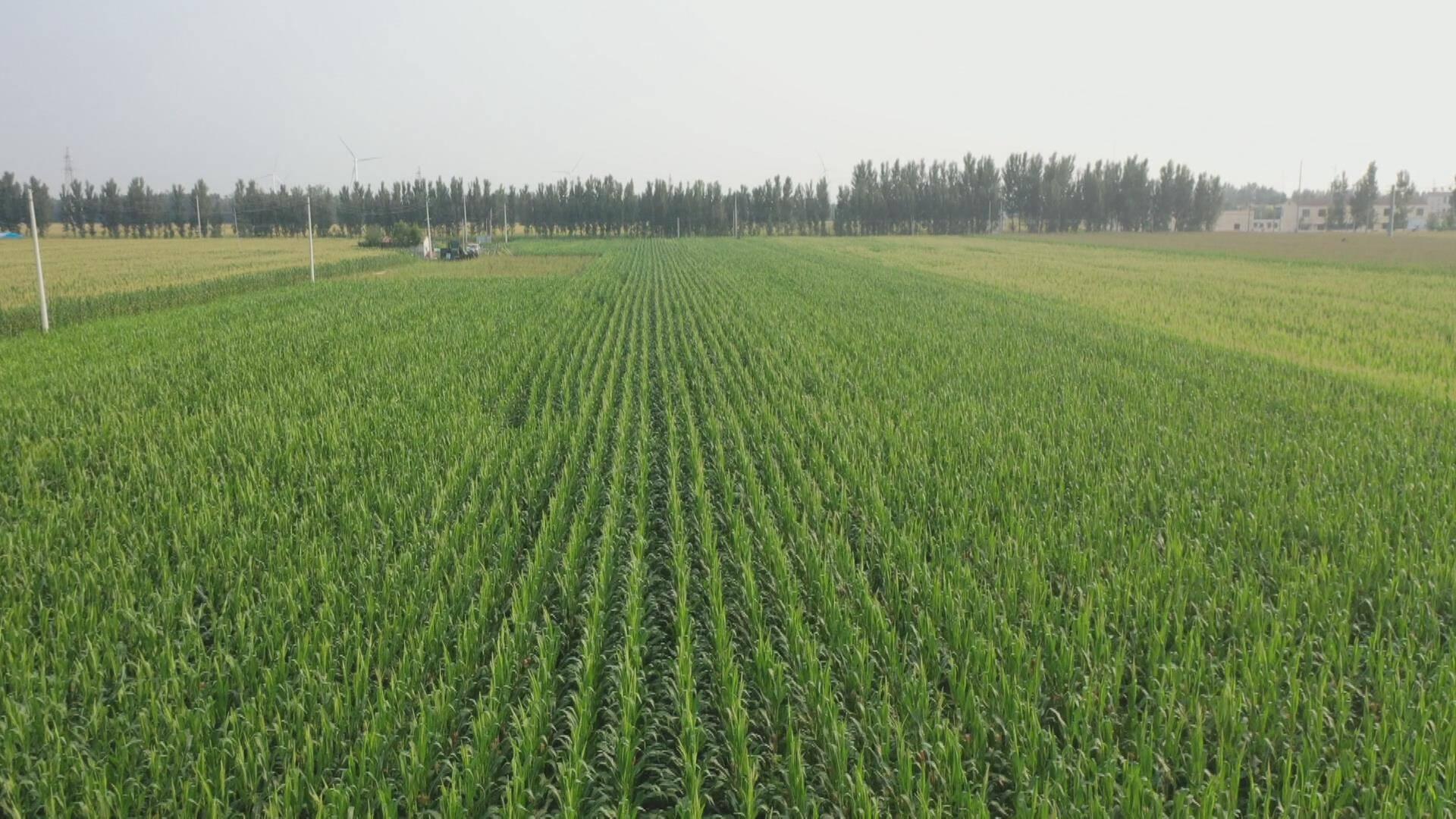 德州夏津粮食高产农业示范方玉米长势喜人 丰收在望