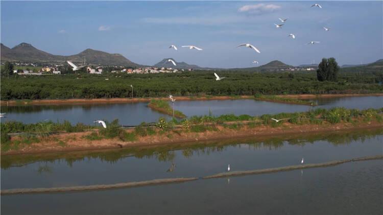 """诗画山东丨白鹭成群舞翩跹 岩马湖畔变身""""鸟的天堂"""""""