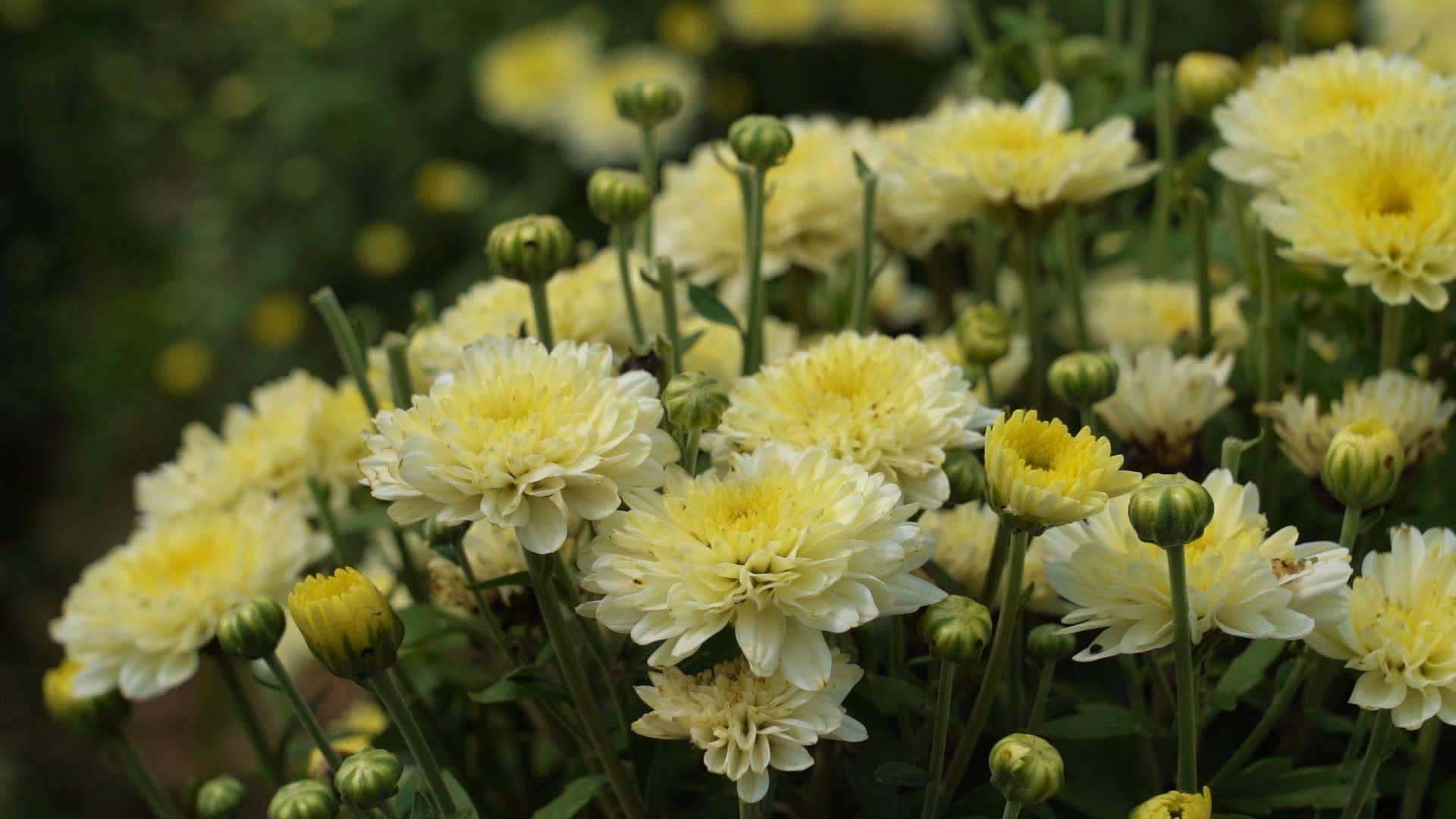 诗画山东|德州武城130余亩雏菊竞相绽放 喜迎丰收