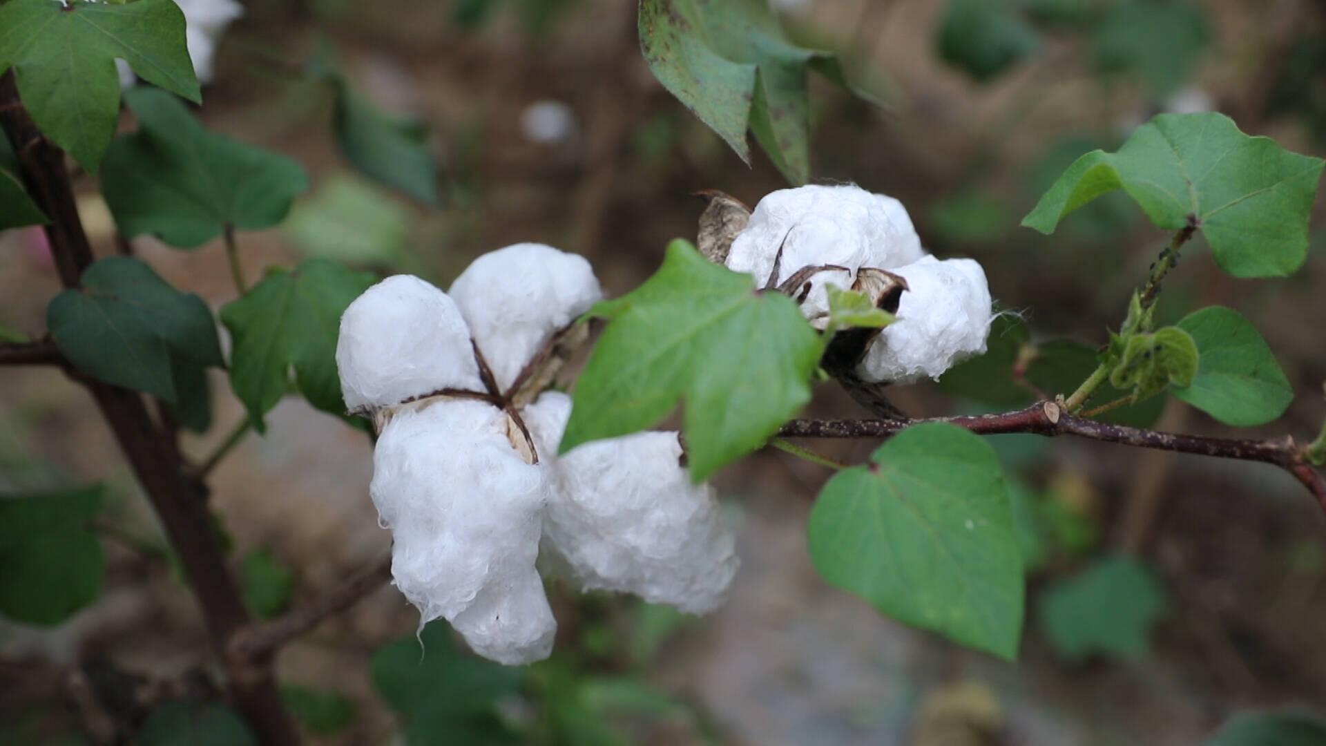 德州夏津农技专家走进田间地头 指导农户做好棉田管理