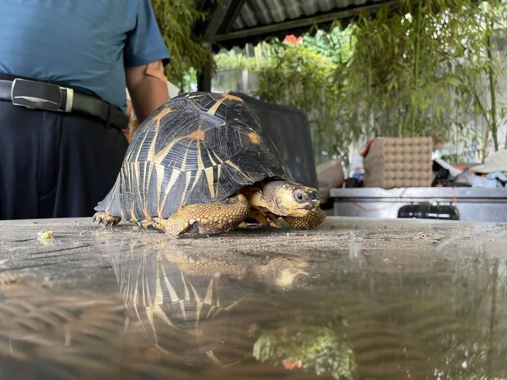 """国家一级保护动物到访家中,济南长清村民讲述与""""辐射陆龟""""的奇妙缘分"""