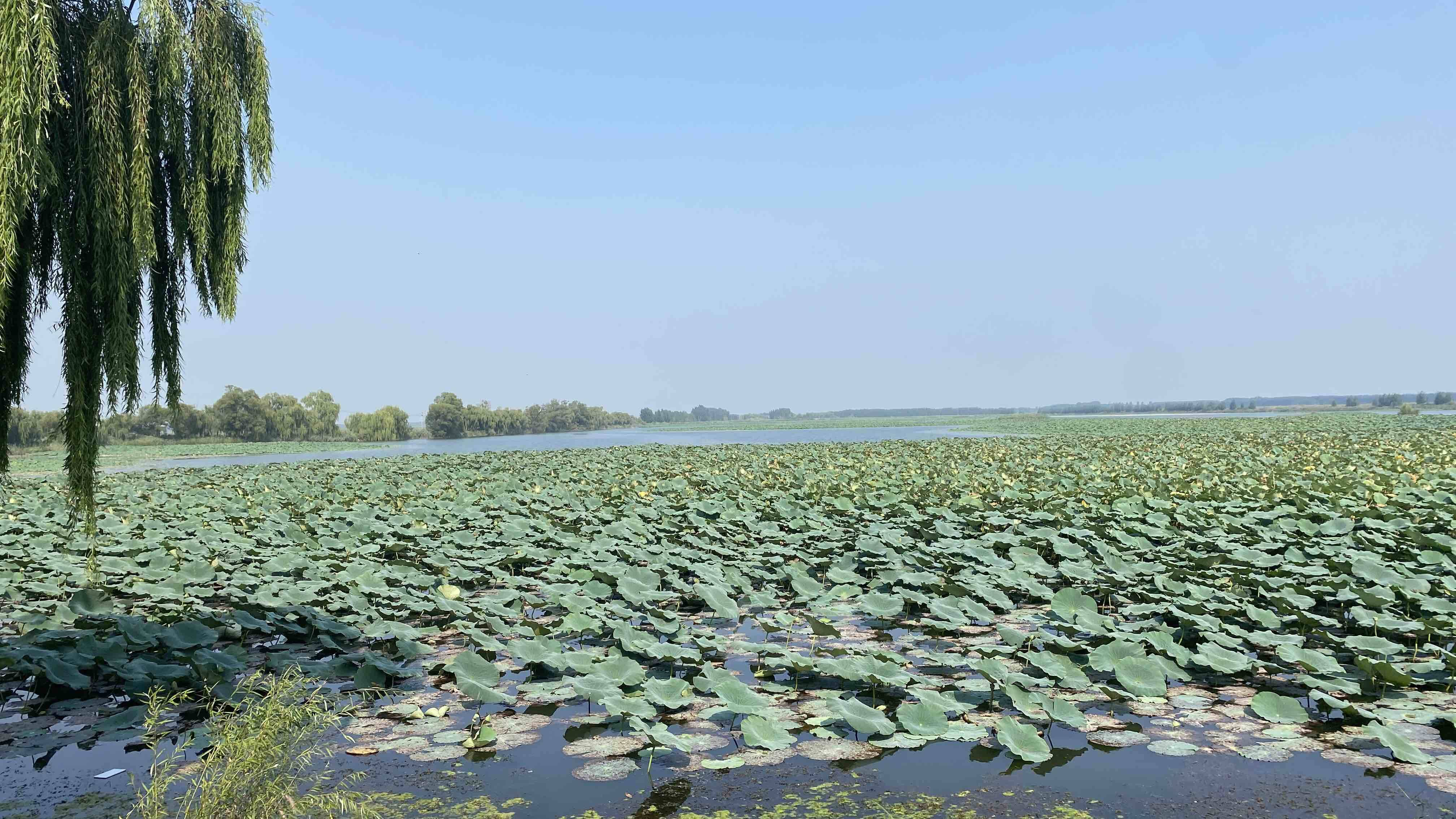 黄河入海看山东|济南白云湖大力开展退渔还湿工程 恢复湿地1.6万余亩