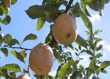 空气中都是苹果的香味!威海早熟苹果迎来丰收季