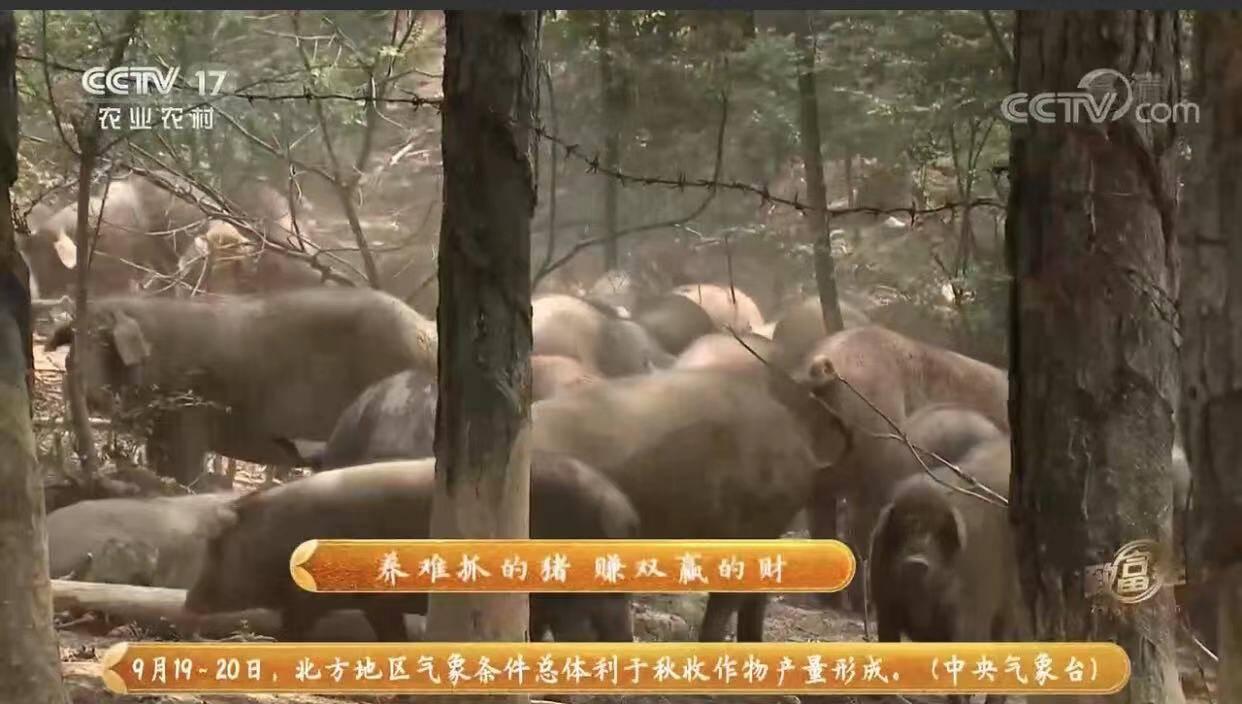 """建繁育基地 打特色品牌 潍坊诸城:""""猪司令""""登上央视《致富经》"""