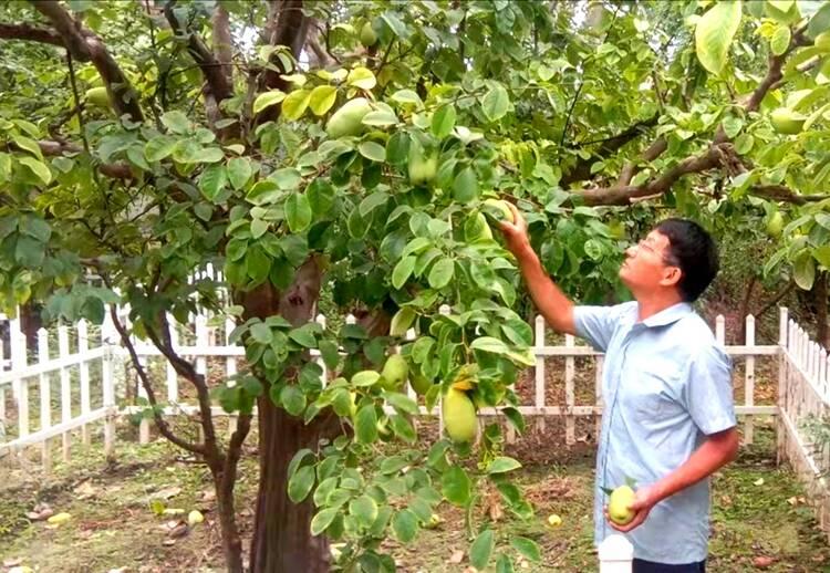 菏泽:古树茁壮 木瓜飘香