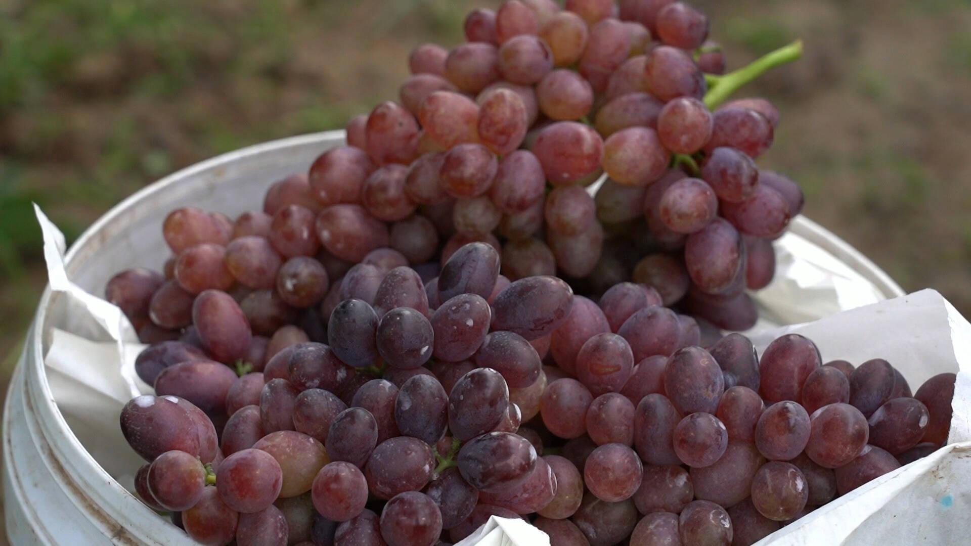 五颜六色晒丰收|德州武城:串串葡萄挂满枝 果农增收笑颜开