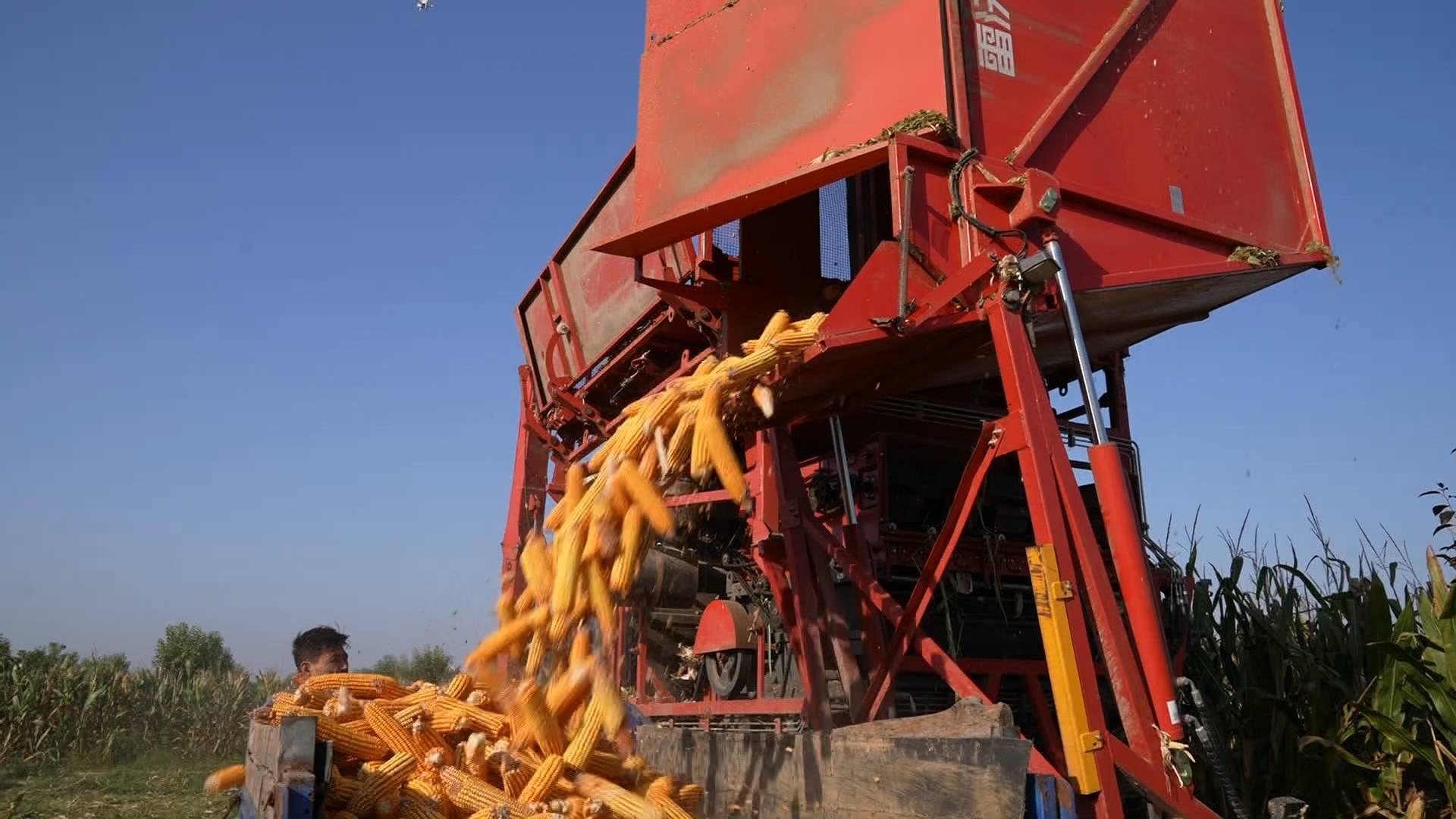 菏泽定陶65万亩玉米大丰收 秸秆变饲料带动居民收入