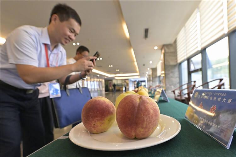 全省13个地市92个品种晚熟桃青州赛颜值比口感