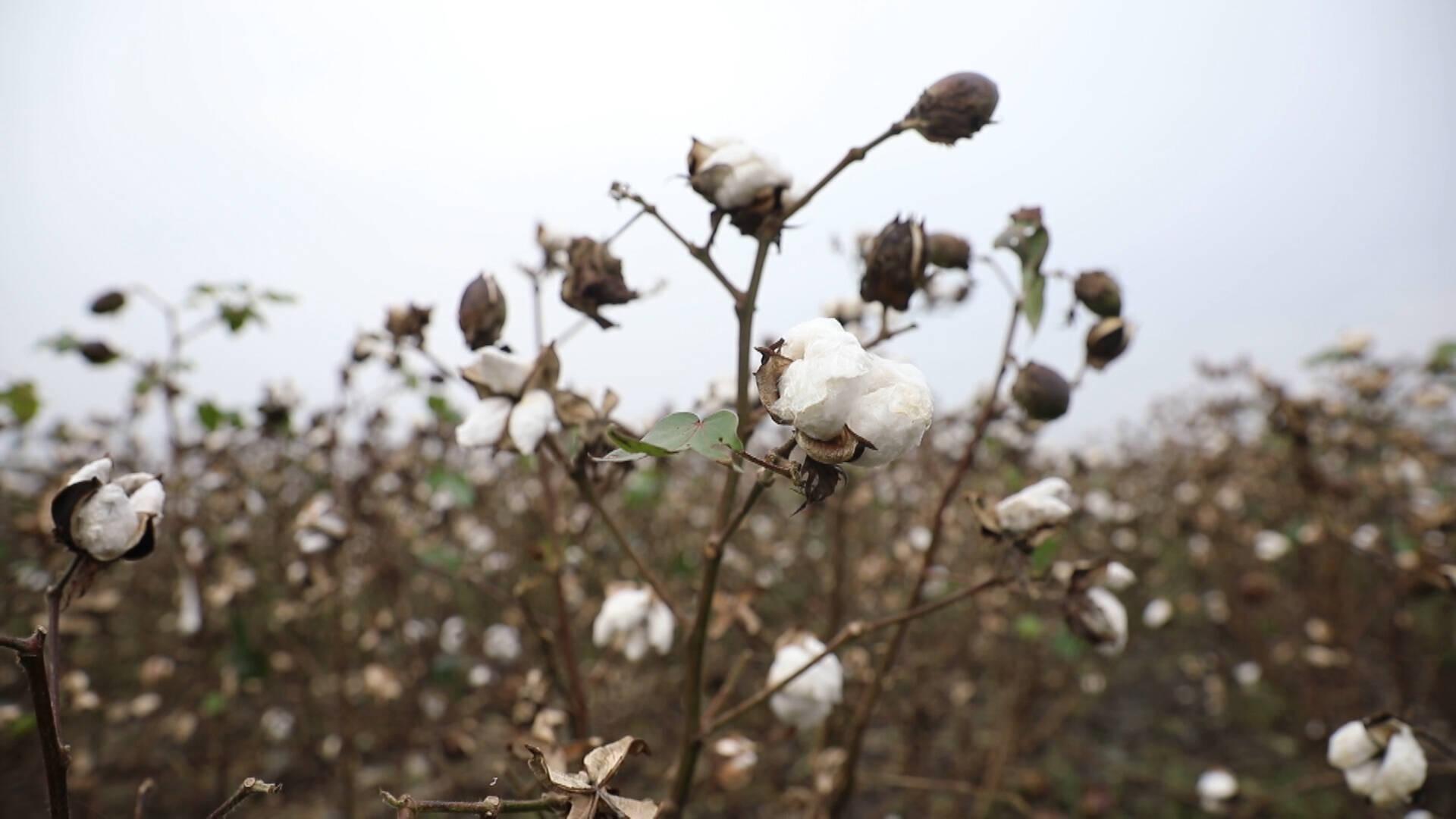 德州夏津:农技专家深入田间,指导农户做好阴雨天气棉花管理