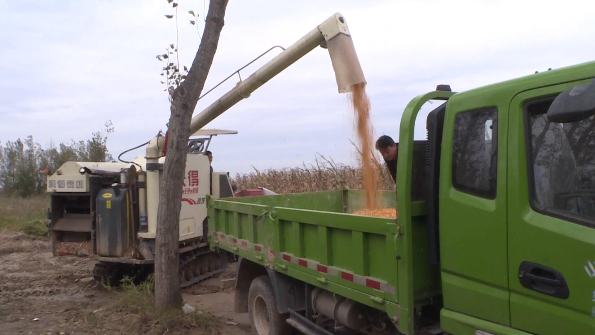 德州平原:人工+机械双渠道抢收,确保玉米颗粒归仓