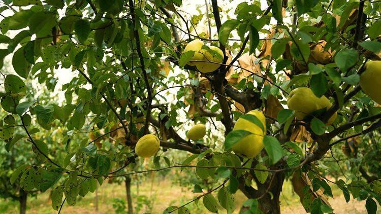 菏泽:千亩木瓜迎丰收万里飘香采摘忙