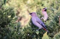 78秒丨数百只太平鸟来德州越冬 身姿轻灵惊艳动人