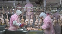 67秒丨菏泽成武肉鸭分割企业复工复产 养鸭户17000只鸭子有了销路