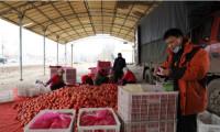 """这就是山东 东营""""武王红""""西红柿走上绿色通道,日均交易1.8万斤"""