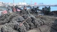 日照岚山:4亿斤贻贝滞销 政府开通采购热线