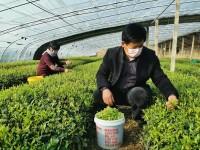 29秒丨第一茬日照绿茶开采 岚山区巨峰镇8万亩茶园春茶加工陆续启动