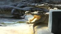 """胆有点肥!零距离""""采访""""鳄鱼群 拍摄它们如何进食"""