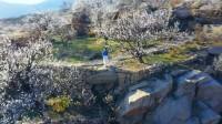 拥抱春天 云端赏景|春光烂漫花如雪 日照五莲樱桃花开