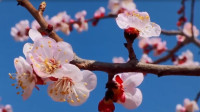 41秒丨滨州无棣:春色满园 杏花飘香