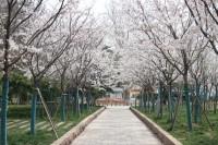 Vlog|一起来看樱花雨 济南赏花网红打卡地快来围观!