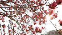 64秒 千株玉兰花、万亩桃花竞相绽放 感受齐鲁大地的如诗如画
