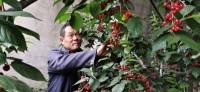 枣庄山亭200个大棚火樱桃成熟,3万斤樱桃急需市场!