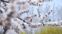 37秒丨东营利津:黄河春暖谁先知  李花如雪始盛开
