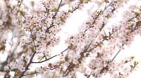 59秒|春来沐清风!东营迎来赏花寻芳好时节