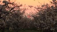 拥抱春天 云端赏景|快来打卡!枣庄千亩梨园美如画